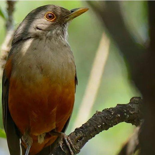 Sabiá-laranjeira é um exemplo de ave silvestre que se adaptou muito bem ao meio urbano no Brasil