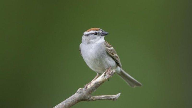 Uso intensivo de herbicidas e pesticidas se tornou um 'tempero' nada agradável aos pássaros