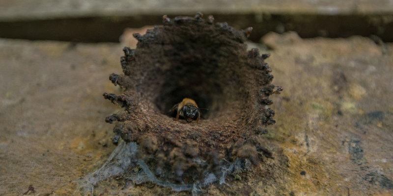 Brasil tem centenas de espécies de abelhas nativas (Foto: Leonardo Lopes)