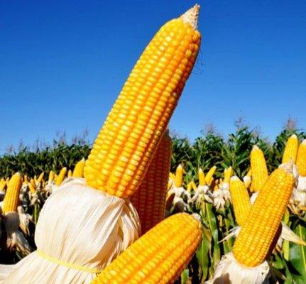 Produção de milho da 2ª safra em Rondônia é recorde com 815,9 mil toneladas em 2017