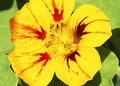 Pesquisa avalia vida útil e composição nutricional de flor comestível