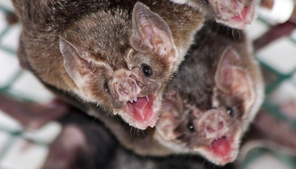 Se o morcego atacar, chame o governo - Gente de Opinião