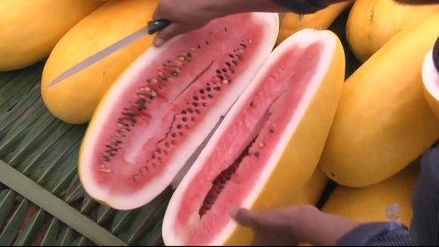 JARU-RO: O sucesso da melancia da casca amarela (VÍDEO)