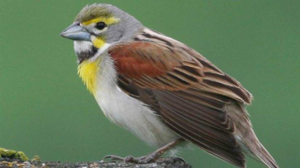 Pesquisadores dizem que, ao longo do século 20, 'hábitats urbanos se tornaram mais favoráveis aos pássaros' (Foto: UNIVERSIDADE DE ILLINOIS URBANA-CHAMPAIGN) - Gente de Opinião