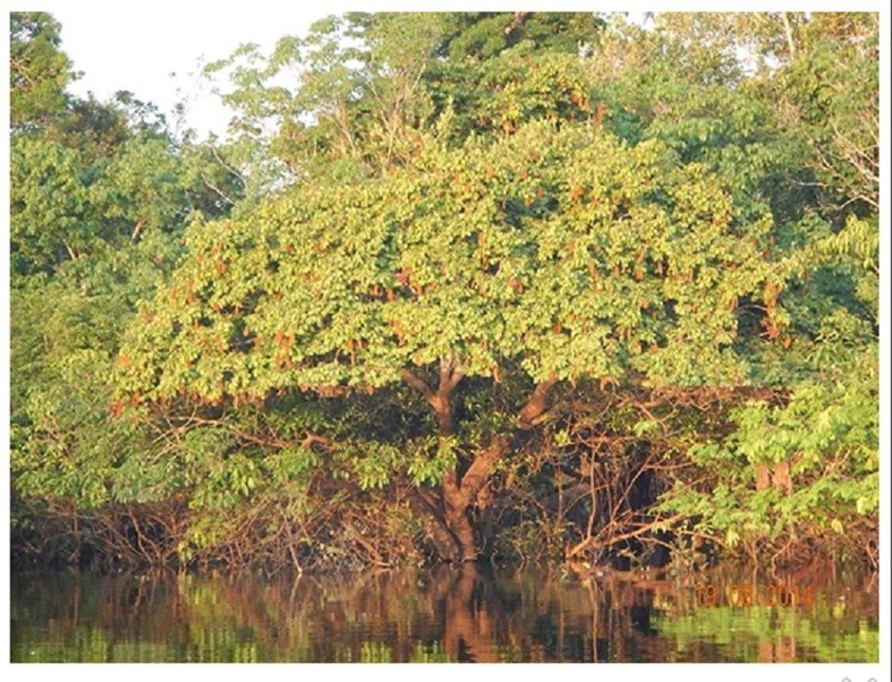 Árvore da espécie Crudia amazônica (Fabaceae, orelha-de-cachorro) na margem da floresta alagada Apenas a copa da árvore que está repleta de frutos fica para fora da água (foto: Bruno Garcia Luize)  - Gente de Opinião