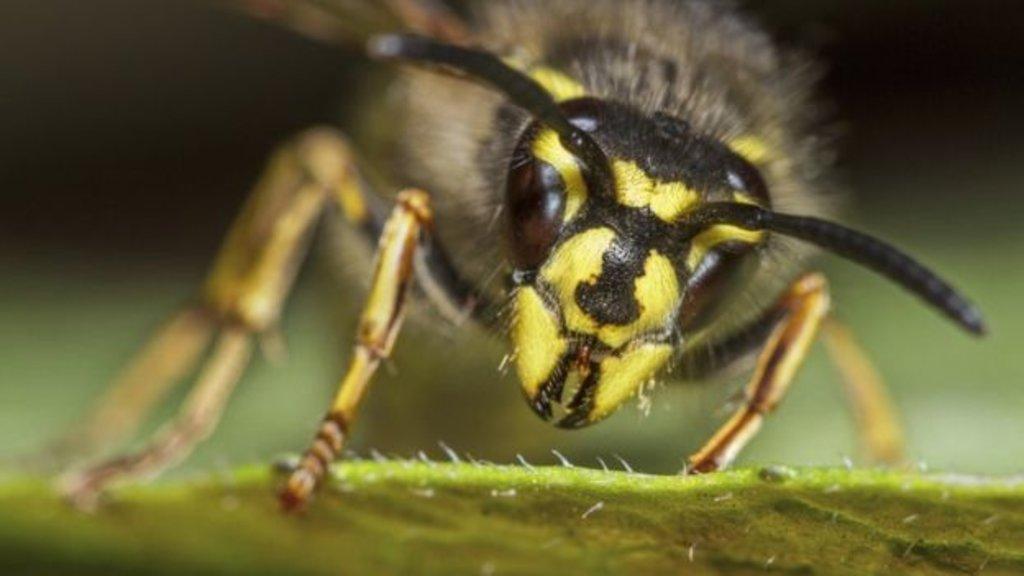 Segundo os pesquisadores, os marimbondos são tão importantes quanto as abelhas, apesar de não produzirem mel (Foto: GETTY IMAGES) - Gente de Opinião