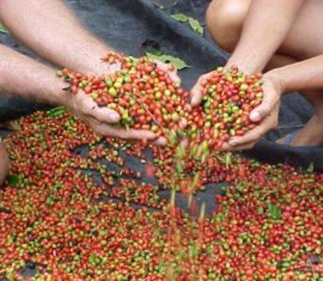 Os suruís e a força do café em Rondônia (VÍDEO)