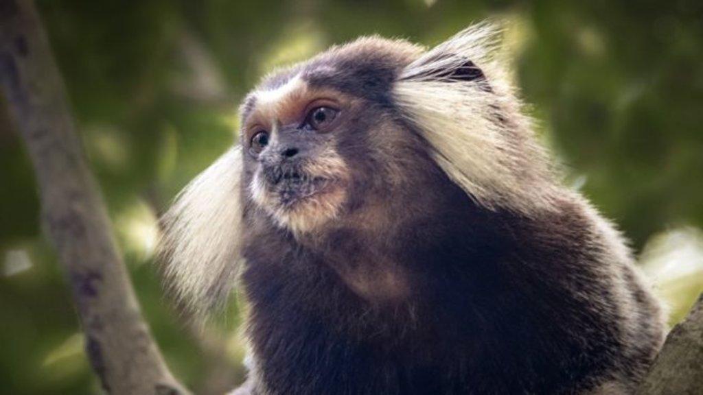 Saguis e micos mortos pela população durante surto de febre amarela estavam doentes com Zika; os primatas não transmitem a doença - Gente de Opinião