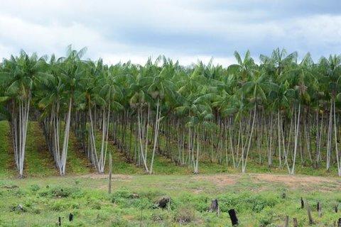 Embrapa disponibiliza Sistema de Produção do Açaizeiro para Amazônia Ocidental