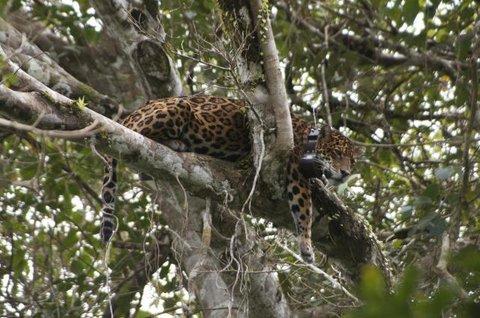 Pesquisa investiga causas da distribuição e riqueza de mamíferos em ilhas de rio na Amazônia Central