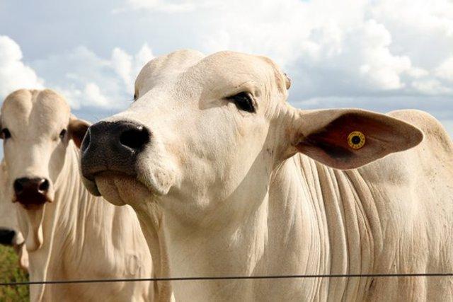 Suplementação de bovinos no período das águas - Gente de Opinião