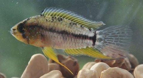 Descoberta: Pesquisadores do Instituto Mamirauá descobrem características reprodutivas do peixe ciclídeo anão