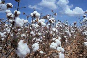 RONDÔNIA – Conab revela que estado é terceiro maior produtor de algodão na região Norte - Gente de Opinião