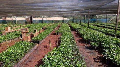 Porto Velho: Semagric entrega mais mudas de café clonal para agricultores