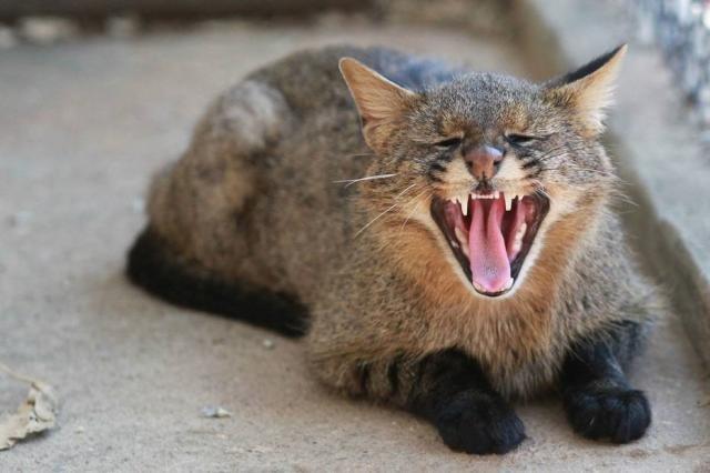 O plano da Austrália é matar 2 milhões de gatos até 2020 - Gente de Opinião