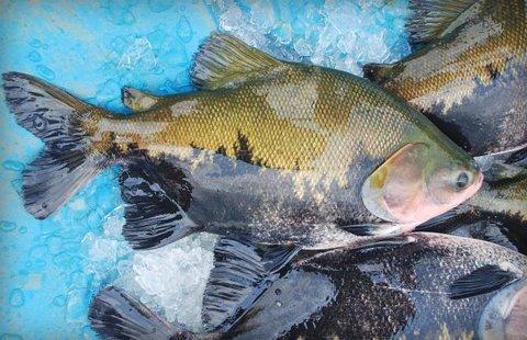 Denúncias infundadas sobre a piscicultura de Rondônia