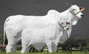 Genética vitoriosa da raça Nelore será destaque no leilão Rima Weekend - Gente de Opinião