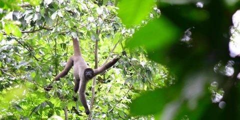Desmatamento: Espécie de macaco da Amazônia pode perder até 59% de habitat nos próximos 40 anos, aponta estudo