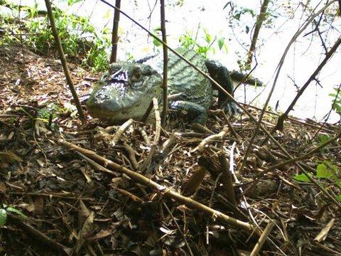 Amazônia: Armadilhas fotográficas são usadas para monitorar predadores e comportamento de jacarés
