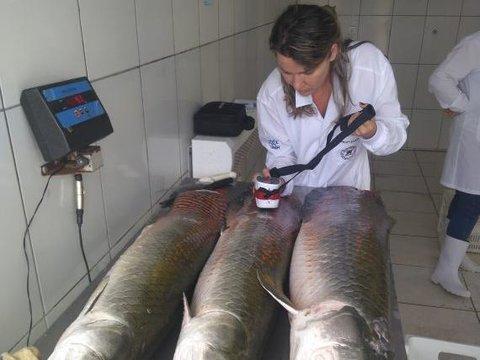 Investimentos de R$ 2,5 milhões em pesquisas ampliam mercado do pirarucu e tambaqui de Rondônia