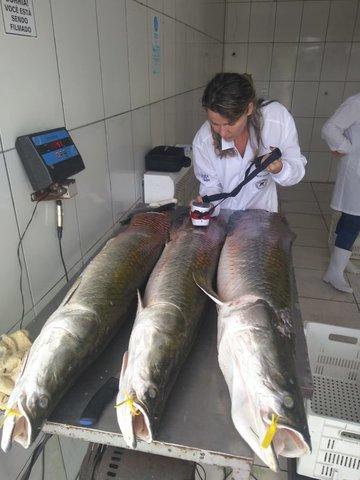 Pesquisadora Jucilene Cavali, da Unir, desenvolve parâmetros para o sistema de classificação das espécies tambaqui e pirarucu de Rondônia - Gente de Opinião