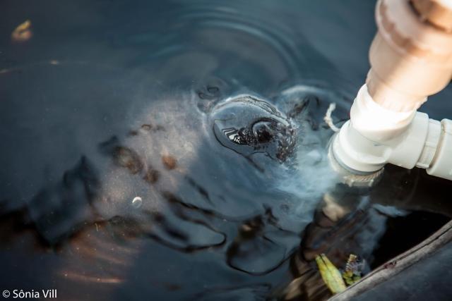 Peixe-boi-amazônico é espécie considerada ameaçada (Foto: Sônia Vill) - Gente de Opinião