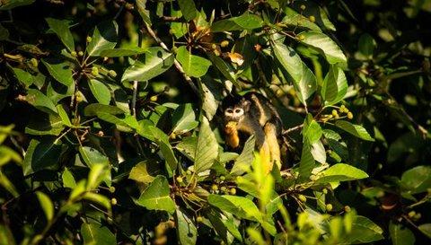 Macaco-de-cheiro-de-cabeça-preta pode ser extinto nos próximos 40 anos, mostra pesquisa