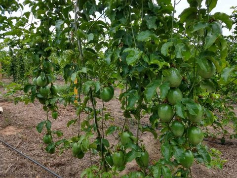 Prefeitura de Rolim de Moura realizará Dia Especial sobre o cultivo do Maracujá