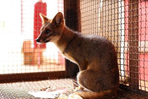 Jaguatirica, raposas e cobras: Semma cuida e devolve à Natureza 14 animais silvestres em outubro com parceria de órgãos ambientais