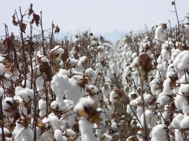 Produção de algodão em Vilhena contribui para crescimento das exportações do município e geração de centenas de empregos - Gente de Opinião