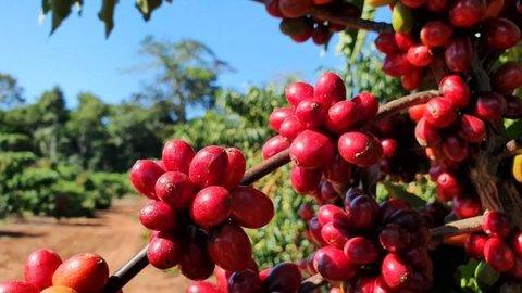 Pesquisa fundamenta primeira Indicação Geográfica de café canéfora do mundo