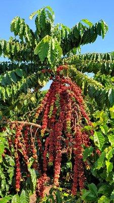 Robusta Amazônico é caso de sucesso na cafeicultura nacional
